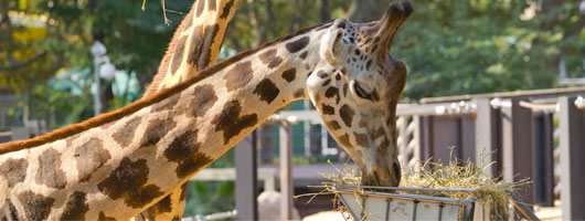 girafa-animals-zoo-barcelona