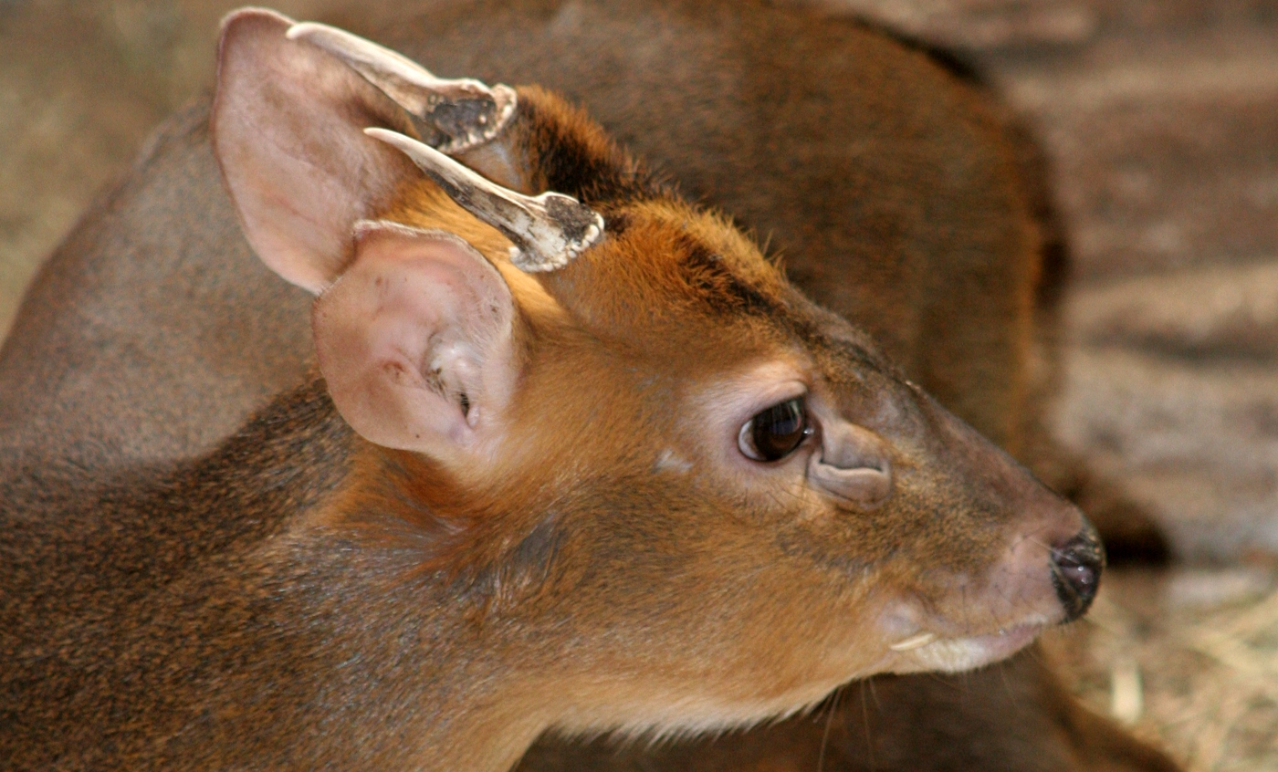 Common muntjac