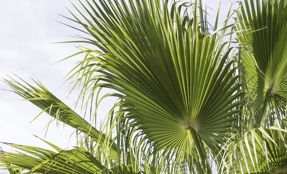 European fan palm